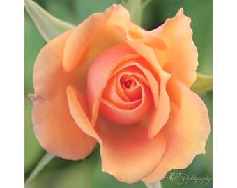 Corail Rose photographie - fine art jardin nature macro photo décoration 8 x 8 10 x 10 impression