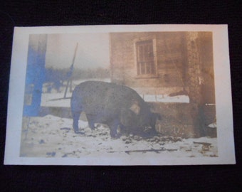 Vintage Postcard (RPPC) of a Very Big Pig CYKO,