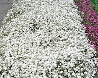 Snow in Summer Cerastium Flower Seeds/Tomentosum/Perennial   85+