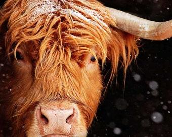 Snowflake, the Highland Cow MetalPrint, Cow photo, Farm Animal Photo, Farm Animal Print, Cow Art, Farm Photography