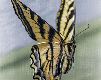 Butterfly Image, Nature Photo, Insect Photo, Tiger Swallowtail, 5x7 to 11x14,