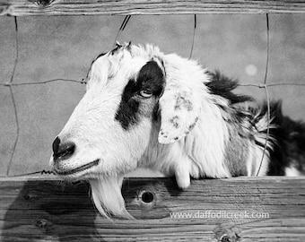 Farm Animal Prints, Goat Photo, Farm Photography, Black and White Print, Farm Nursery Decor, Farmhouse Style Art, Rustic Kitchen Wall Art