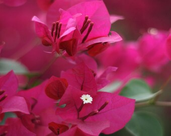 Fine Art Photography Pink Magenta Bougainvillea Nature Photography Flower Photo Archival Print
