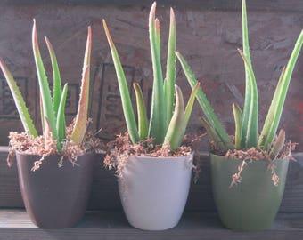 Aloe vera Gift Plant Eco Pot