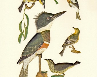 Alexander Wilson's Kingfisher Natural History Print PSS 2401