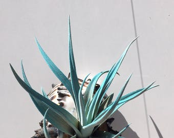 Air plant Tillandsia Hanging Planter in Black Murex shell comes completely assembled and ready to hang