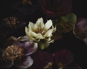 Flower Photography, Rustic Wall Art, Nature Print, Floral Still Life, Home Decor, Botanical Art Print, Thanksgiving, Water Lilies, Gift