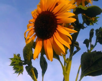 contemporary art - photography Bright Sunflower fine art print -  wall art - home decor - spring flowers - Yellow - Blue