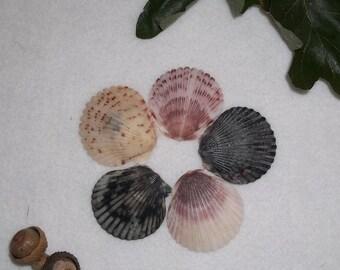 Scallop Shells- Set of Five Shells For Spells or Magic