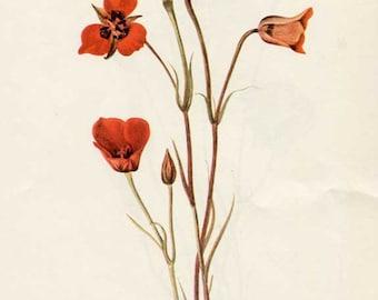 Vintage 1953 Red Mariposa Flower Botanical, Floral Print for Framing, American Wildflower