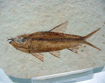 Fossil Fish in Limestone, Knightia eocaena from Kemmerer Wyoming, 50 Million Years Old  17T68