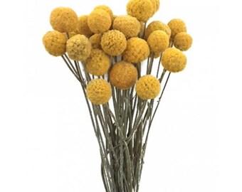 Dried Billy Balls (Craspedia)-Natural Gold - 2 oz bunch