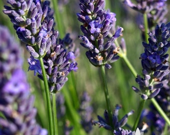 English Lavender Heirloom Herb Seeds - Non-GMO, Open Pollinated, Untreated