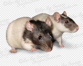 Pet Rats Clipart Photo   Digital Download Stock Photo   Animal Clip Art   Rodent Photo   Transparent Background PNG File