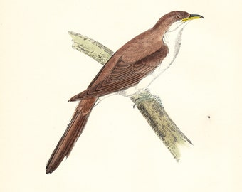 Yellow Billed Cuckoo Antique Bird Print - original hand coloured woodblock art dated 1893 vintage plate