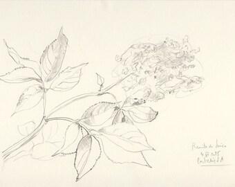 Elder blossom pencil drawing #1 ORIGINAL botanical drawing, elderflowers art by Catalina S.A