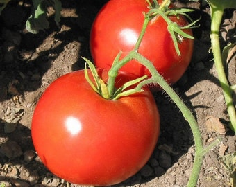 VTH) BOXCAR WILLIE Tomato~Seeds!!~~~~~You've gotta try this One!