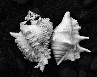 Black and White Photography - Seashell Photography - Black and White Fine Art Print - Seashell Canvas Art - Sea Shell - Large Wall Art