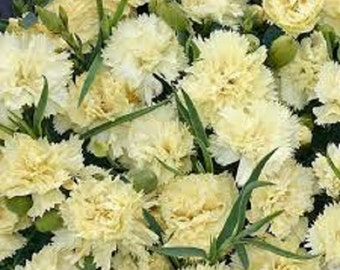 Yellow Grenadin Carnation Flower Seeds / Dianthus / Perennial 30+