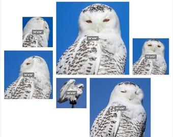 """Snowy Owl Canvas Gallery Grouping,  Signed by Artist; Kathleen Lahr 24"""" x 24"""", 20"""" x 20"""", 2- 10"""" x 10"""", 12"""" x 12"""", 16"""" x 16"""""""