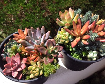 This listing is for of 2  large size succulent container gardens.These succulents are breathtaking and very vibrant in color.