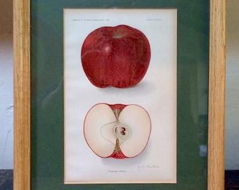 Framed Botanical Print  - Kinnard Apple by A.A. Newton circa 1910