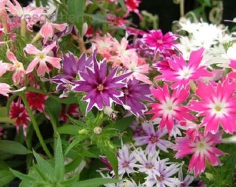 30+ Phlox Twinkle Star Mix Shade Loving / Perennial Flower Seeds