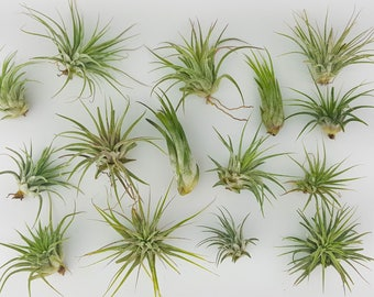 """25pc Air Plant Tillandsia """"TLC"""" Ionantha Variety / Second Chance Quality / Wholesale Tillandsias with Minor Imperfections"""