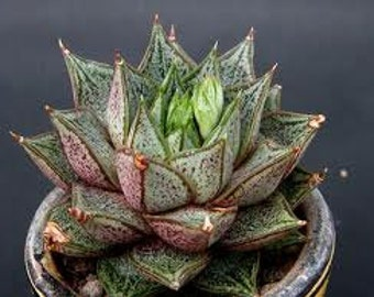 Small Succulent Plant. Echeveria Purpusorum. Spiky plant with gorgeous bell shaped flowers.