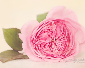 pink garden rose -flower photography -flower photo-cottage garden photography - Original fine art photography prints - FREE Shipping