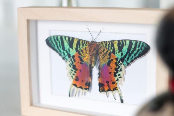 Framed sunset moth Urania ripheus