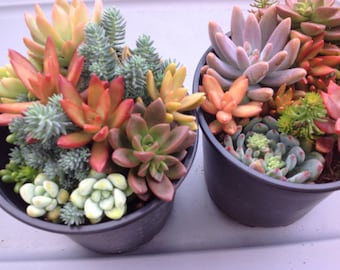 This listing is for  1  large succulent container gardens. These would be a great addition to any collection.