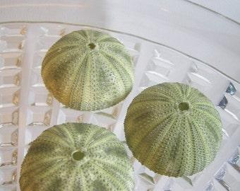 Private Listing for artsysms11091962  AssortedSea Urchins - Unique Sea CreaturesAsk for Int'l ship rates
