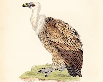 Griffon Vulture Print . original antique bird plate woodblock old vintage . dated 1895