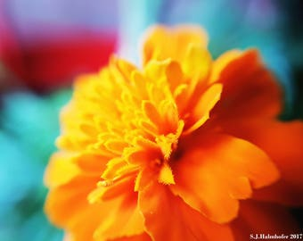 Summery Marigold // Photography // Flower // Nature // Wall Art