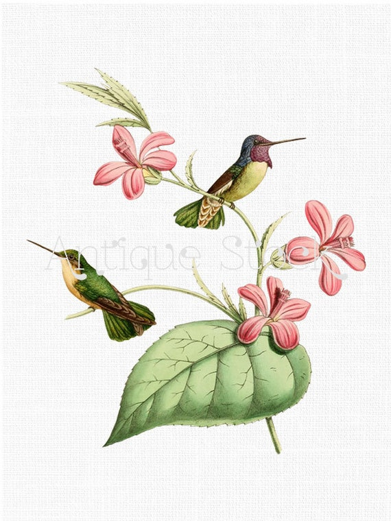 Birds Clip Art 'Costa's Hummingbird'