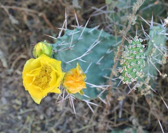 Mystery White Spined Prickly Pear / Prickly Pear Cactus / Cactus Garden / Live Cactus Plants / Opuntia / Cactus Cuttings / Cactus Pad Desert