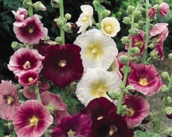 Hollyhock Seeds, Indian Spring Mix, Perennial Flower, Fence Row, 10 Seeds