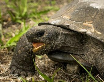 Gopher Tortoise Feeding