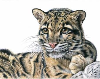Clouded Leopard - Fine Art Print