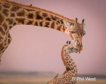 Mama and Baby Giraffe, Photo Print or Canvas 8x10, 12 x 18, 16 x 24, 24 x 36, 32 x 48