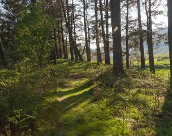 Magic Light Fine Art Photography Scottish landscape Sunlight Woodland Forest Path Trees Moss Outlander inspired Scotland Pines flair shadows