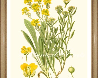 "Botanical Print. Alyssum. Yellow flower print. Floral Print. Botanical Wall Art. 5x7"",  8x10"" 11x14"""