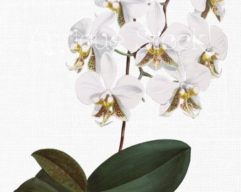 Orchid Clip Art 'White Phalaenopsis' Botanical Illustration Digital Download Image for Invitations, Crafts, Collages, Wall Art...