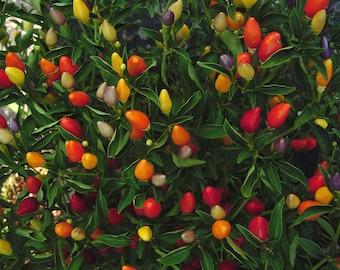 NuMex Twilight Hot Pepper Organic Live Plant