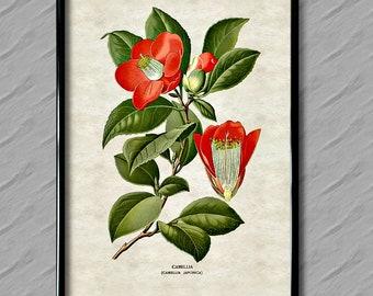 Camelia Print, Camelia, Flower Print, Floral Print, Botanical Print,  Reproduction Print, Vintage Print, Antique Print, Wall Art