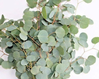 Fresh Eucalyptus Silver Dollar Bunches - Bulk Greenery  (Free Expedited Shipping)