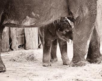 Baby Elephant Photo - 8x10 photograph - Newborn Elephant - fine art print -  baby elephant with mom - nursery art - baby girl artwork