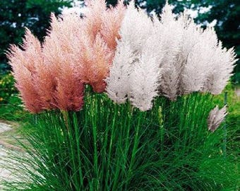 Pampas Grass White and Pink Mix - 100 Seeds