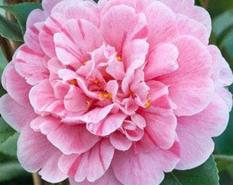 "CAMELLIA japonica ""Tricolor"" seibold"